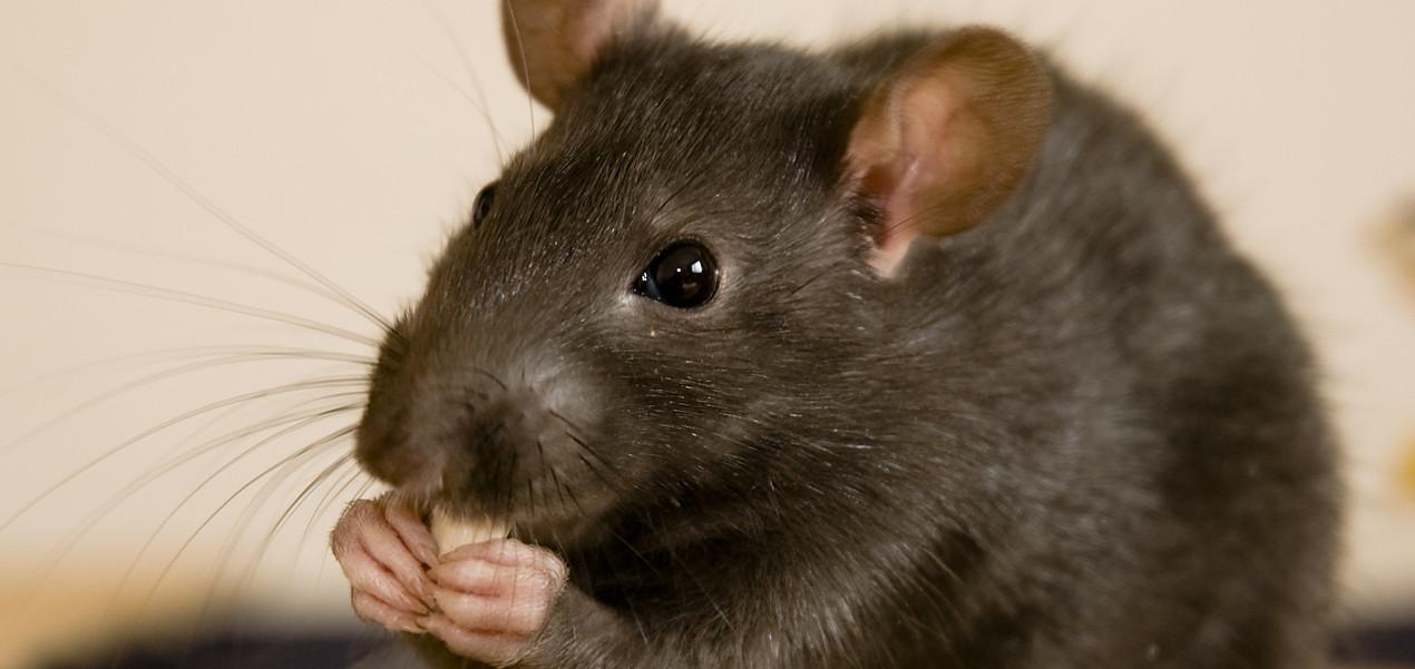 Дератизация – уничтожение грызунов(крыс и мышей) в помещении